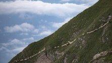 Стадо овце пресича алпийски терен под връх Falknis   във Флаш, Швейцария.