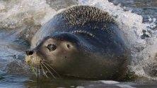 Тюлен прави опит за  първото си плуване, след като е пуснат в Северно море на плажа на остров Юист, Германия.
