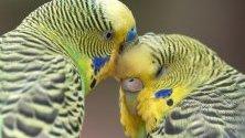 Вълнисти папагали (Melopsittacus undulatus) се почистват, докато седят на клона на дърво  в парк за животни във Вормс, Германия.