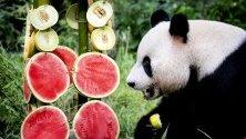 Гигантска панда по време на честването на 6-ия си рожден ден в зоопарк в Холандия.