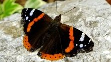 Пеперуда кацнала върху камък в парк в центъра на Загреб, Хърватия.