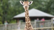 Шестдневно бебе жираф  стои в заграждението зоопарк, Унгария.