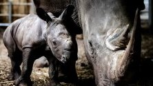 Новородено носорогче едва на 5 дни заедно с майка си в зоопарка в Арнхем, Холандия.