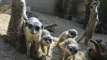 """Сурикати си играят в зоопарка в Лисабон, Португалия. Седем малки сурикатчета там само месец след пускането на римейка на """"Цар Лъв"""" по кината."""