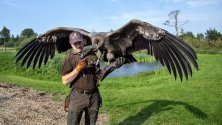 Петер Венцел обучава младия кондор Молина в резерват в Биндслев, Дания. Млади кондорите имат от 3 до 5 метра разперени криле и са тежки до 15 кг, което ги прави най-големите летящи птици в света.