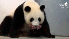 Новородени панди в Берлинския зоопарк - първите, родени в Германия.