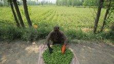 Пакистански фермер чисти бамя във ферма в Чарсада, в предградията на Пешавар. Земеделието е основен сектор в пакистанската икономика.