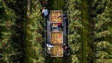Бране на ябълкови дървета по време на Националните дни на беритата на плодове в Холандия. По време на дните посетителите на стопанство могат сами да си берат плодовете.