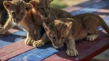 Три новородени лъвчета играят в зоопарк, южна ивица Газа.