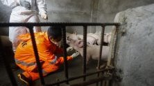 Ветеринар взима кръвна проба от прасе в свинеферма за тестване за африканска чума, Куезон, Филипините. В града беше потвърдено наличието на болестта.