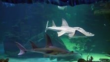 Акули плуват в аквариум в Сидни, Австралия, по време на оповестяване на данни за загуба на видове поради бездействието на правителството срещу промените в климата.