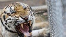 86 тигри общо 147-те, подслонени в Храма на тигъра в Тайланд, са загинали от заразна болест. През 2016 г. храмът беше обвинен в незаконна търговия и насилие над животните.