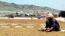 Афганистанец събира изсушени стафиди в Кандахар. Въпреки нападенията на талибаните, провинцията е изнесла над 13 000 тона сушени плодове и ядки за Индия, Дубай и Казахстан за 10 месеца.