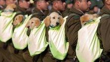 Кученца от кучешка бригада на чилийските карабинери участва във военен парад в Сантяго, Чили.