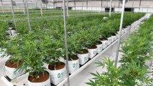 Отглеждане на канабис във ферма в Австралия. Канбера легализира отглеждането на канабис за лични цели.