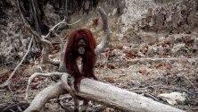Борнейски орангутан на речен бряг сред мъгла от горските пожари на остров Салат, Центарлен Калимантан, Индонезия. Пожарите на Суматра и Борнео причиниха плътен дим в съседните държави Сингапур и Малайзия.