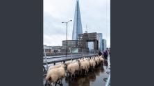 Около 30 овце бяха подкарани по Лондонския мост в съответствие със стара традиция, която дава възможност да се почетат гражданите, довели добитък в столицата.