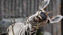 Хартманова планинска зебра се храни с клонки в зоопарка в Ландау, Германия.