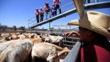 Търг на добитък в Рома, Куийнсленд, Австралия. Градът отбелязва 50-годишнина от съществуването на кошарите, където добитъка се подготвя за продажба - най-големите в южното полукълбо.