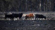 Стадо крави върху изгоряло поле в Рапвил, Нов Южен Уелс, Австралия. Пожарите в района на Рапвил излязоха извън контрол и има няколко изгорели къщи.
