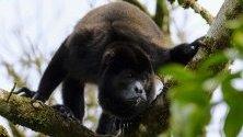 Маймуна-ревач, част от фауната в един от биологичните коридори в Упала, Коста Рика. Коридорите, които покриват 33% от територията на страната, са мост за опазването на биоразнообразието в Коста Рика и допринасят за развитието на селата.