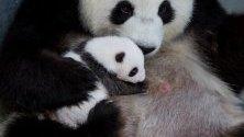 Една от новородените панди в Берлинския зоопарк сгушена в майка си. Двете панди се родиха на 31 август, първите, раждали се в Германия.