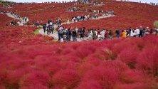 Туристи се разхождат из поле с растението кохия (известно и като летен кипарис) в парк в Хитачинака, Япония. Всеки юни там се засаждат над 30 000 туфи кохия. Те стават червени между юли и октомври.