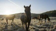 Стадо хуцулски коне в националния парк Агтелек, Унгария.