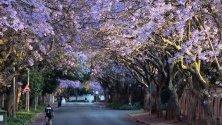 Разцъфнали дървета джакаранда в Йоханесбург, Южна Африка. Дърветата са вкарани в страната от Бразилия през 1892 г. С цъфтежа им започва и началото на лятото.