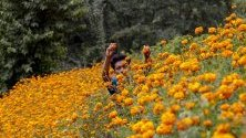 Непалец събира цветя махмали, типични за фестивала Дивали и използвани за гирлянди в почит към боговете. Фестивалът започва на 27 октомври и трае пет дни.