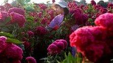 Хора събират мексикански турти в Атликско, Мексико. Този вид цветя се използват за почитане на мъртвите по време на Деня на мъртвите, който се отбелязва в началото на ноември в Мексико.