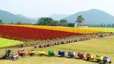Туристи се разхождат из поле с цветя целозия в Согвипо, Южна Корея.