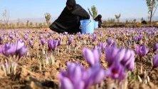 Афганистанка бере шафран в Херат. Над 5000 души са наети в отглеждането на около 400 хектара шафран в провинцията, като 40% от тях са жени.