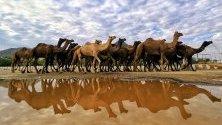 Стадо камили по време на традиционно изложение за добитък в Пушкар, Индия - най-голямото в света. Близо 50 000 камили биват продавани, украсявани, бръснати и използвани за надпревара.