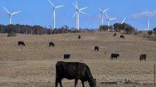 Крави пасат край вятърна електроцентрала в Бунгендор, Австралия. Страната започва тестване на първата си офшорна вятърна централа край бреговете на Гипсланд.