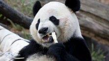 4-годишната панда Бей Бей се храни със захарна тръстика в зоопарка Смитсониън във Вашингтон. Пандата, родена в зоопарка, беше преместена в център за панди в Китай. Съгласно споразумение, панди, родени в чужбина, на 4 години трябва да бъдат преместени в Китай.