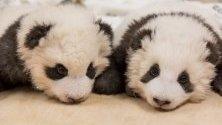 Берлинският зоопарк показа новородените панди. Майка им Мън Мън ги роди на 31 август, те са първите, родени в Германия.