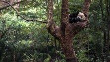 Панда спи върху дърво в изследователския център за развъждане на панди Ченду, Китай. По данни на WWF в диво състояние живеят 1864 панди.