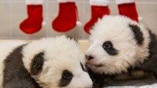 Служители от Берлинския зоопарк са декорирали в коледна украса помещението, където живеят двете новородени панди.