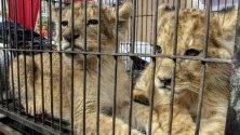 Две африкански лъвчета биват показани по време на пресконференция в Пеканбару, Индонезия. Полицията е конфискувала четири лъвчета и бебе леопард от контрабандисти.