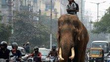 Слон из трафика в Гувахати, Индия. Индия е дом на 50-60% от всички диви слонове в Азия и около 20% от отглежданите от хора