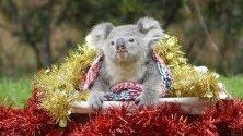 Australian Reptile Park показва коала, обградена от коледна декорация. Паркът е разположен край Сидни.