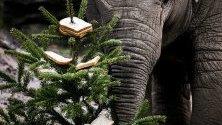 Слон яде коледна елха в зоологическата градина в Амерсфорт, Нидерландия