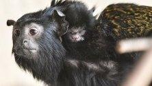 Едно от новородените близначета от вида златорък тамарин Мидас с майка си по време на представянето им в зоопарка в Дебрецен, Унгария.