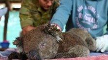 Ветеринари и доброволци спасяват коали от природния парк на Острова на кенгуратата в Австралия.