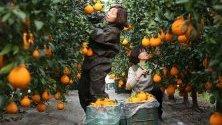 Събиране на реколтата от цитрусови плодове халабонг или декопон във ферма в Наджу, Южна Корея.