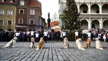 Голдън ретривъри участват в благотворително събитие в Олщин, Полша.