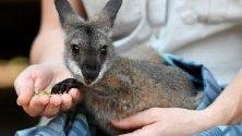 Спасено от горските пожари червеногушо валаби в болница за диви животни в зоопарка Таронга в Сидни, Австралия.