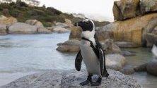 Африкански пингвин по скалите на плажа Булдерс в Саймънстаун, Южна Африка. Този вид пингвини е в списъка на застрашените видове, като броят им намалява постоянно през последното десетилетие.