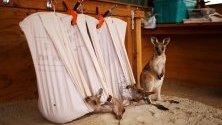 Спасени бебета кенгуру живеят в имот на Кевин и Лорита Клапсън в Източен Лин, Австралия.